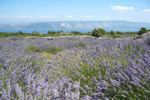 Hvar Südküste Lavendel
